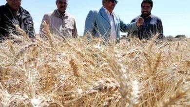 Photo of وزير الزراعة: انطلاق موسم حصاد القمح والمحصول يبشر بالخير