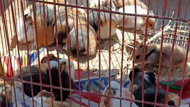 Photo of بينهم 20 فأر..ضبط حيوانات نادرة بالقاهرة وتسلمها لحديقة الحيوان